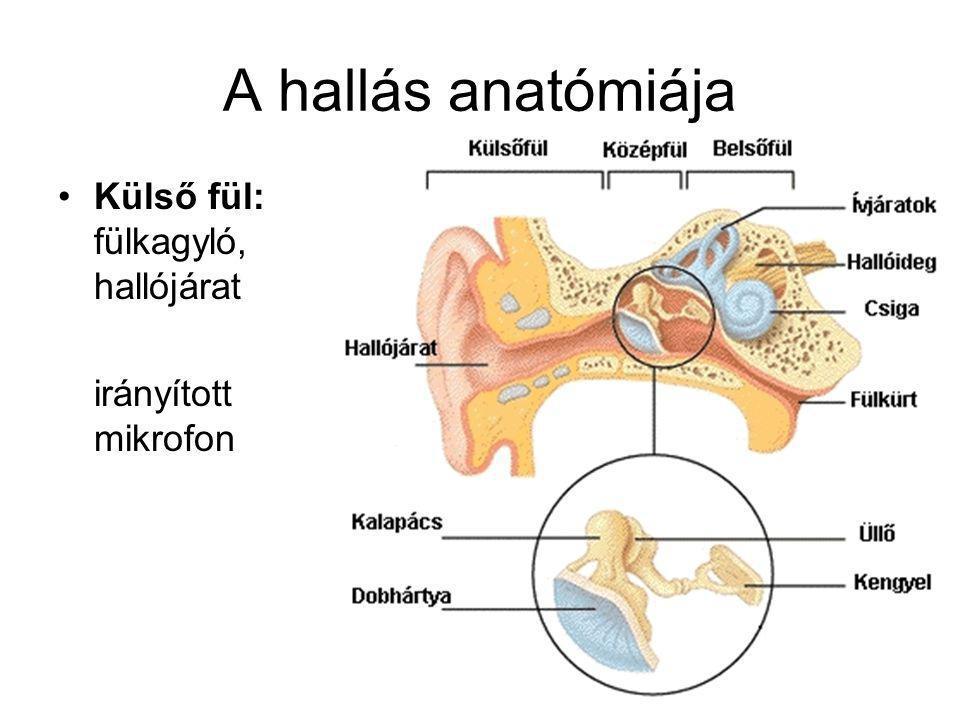 A hallás anatómiája Külső fül: fülkagyló, hallójárat