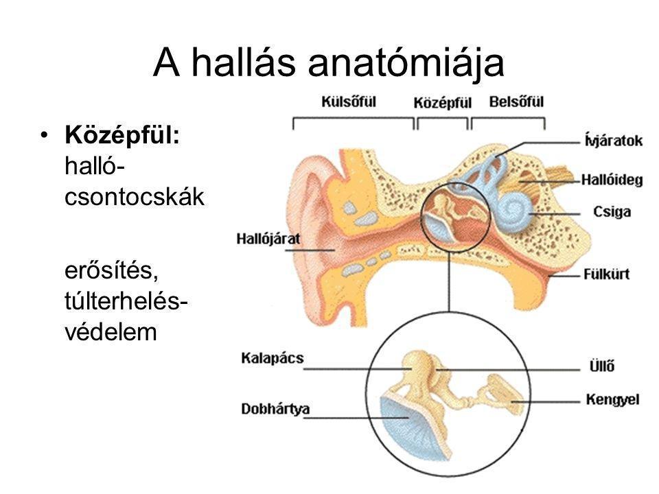 A hallás anatómiája Középfül: halló- csontocskák