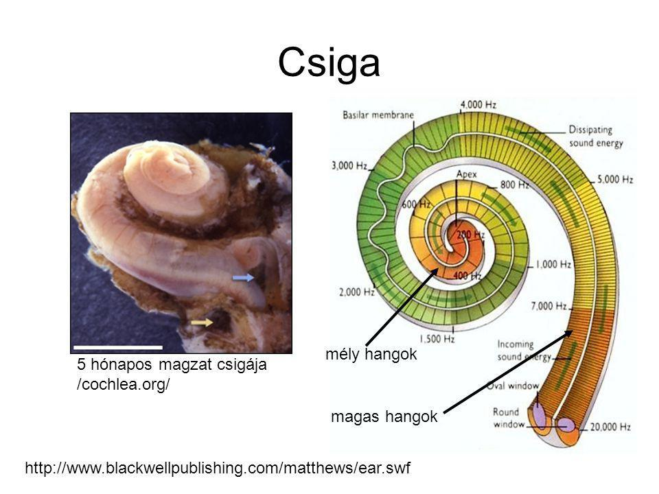 Csiga mély hangok 5 hónapos magzat csigája /cochlea.org/ magas hangok