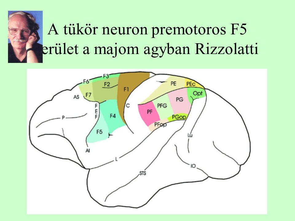 A tükör neuron premotoros F5 terület a majom agyban Rizzolatti