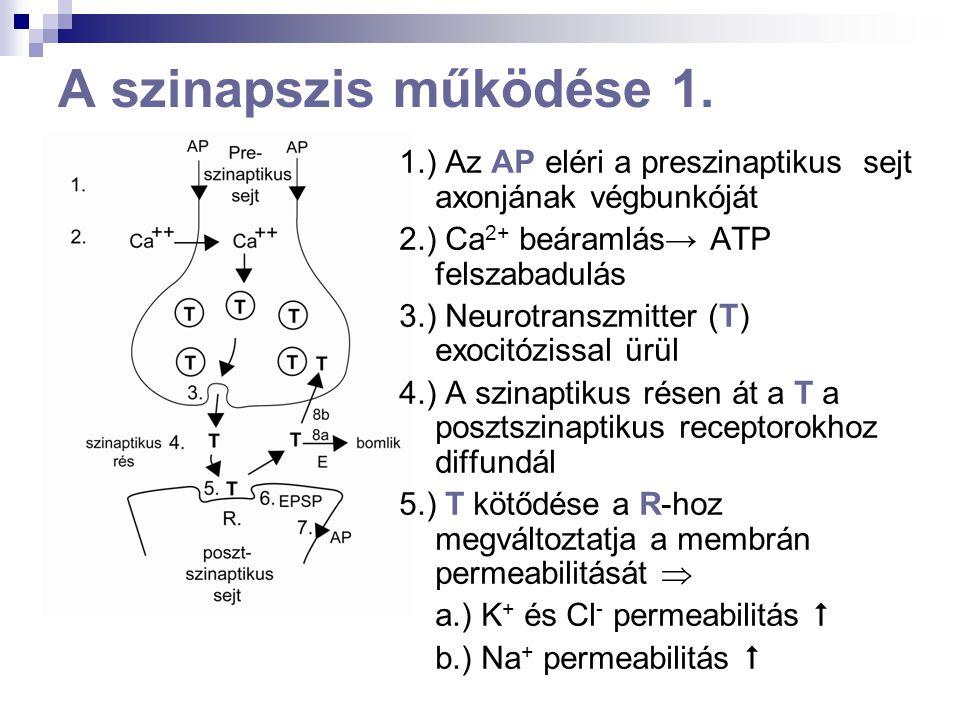 A szinapszis működése 1. 1.) Az AP eléri a preszinaptikus sejt axonjának végbunkóját. 2.) Ca2+ beáramlás→ ATP felszabadulás.