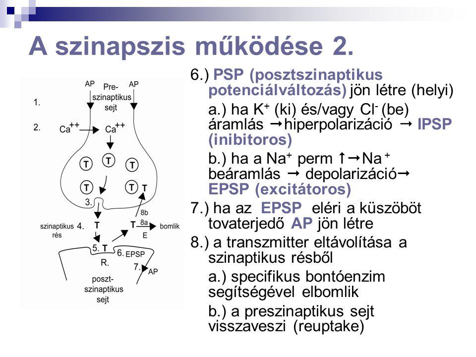 A szinapszis működése 2. 6.) PSP (posztszinaptikus potenciálváltozás) jön létre (helyi)