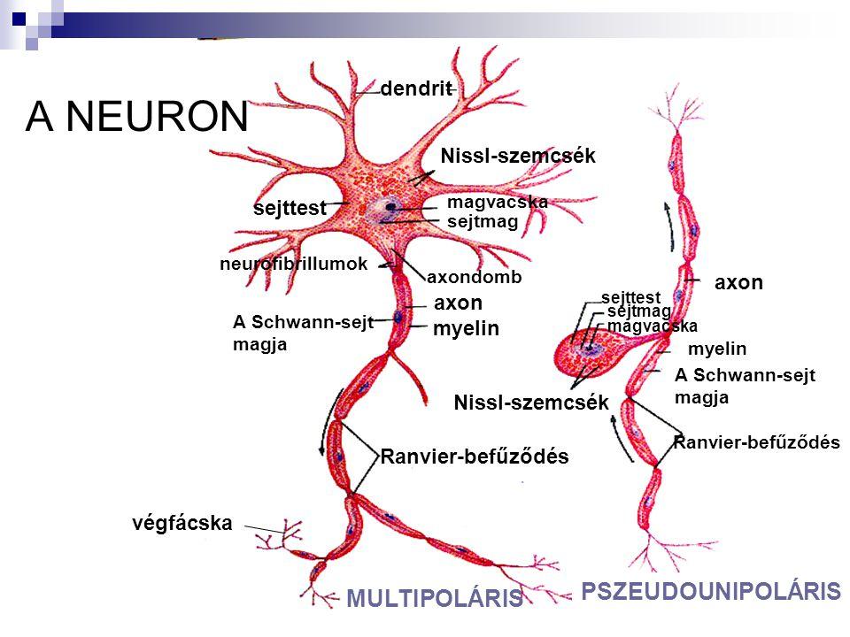 A NEURON PSZEUDOUNIPOLÁRIS MULTIPOLÁRIS dendrit Nissl-szemcsék