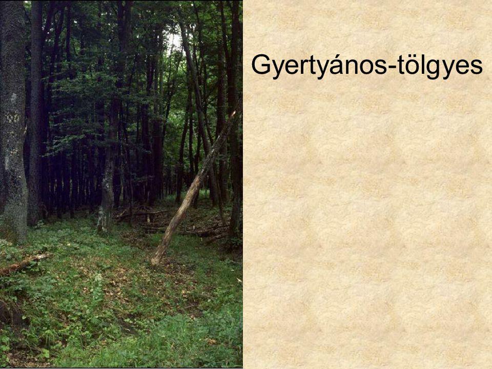 Gyertyános-tölgyes Gyertános tölgyes 4 HAZN