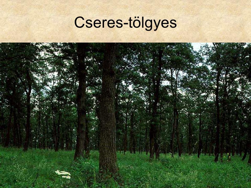 Cseres-tölgyes Idős cseres-tölgyes (Budakeszi, 1996.) ELOH175