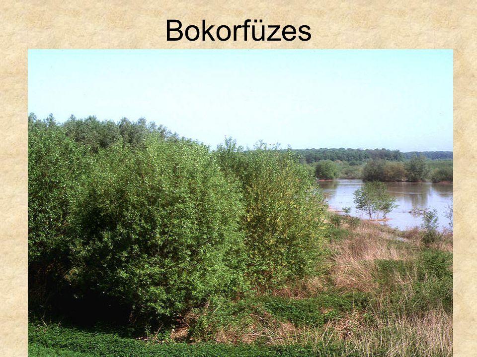 Bokorfüzes Védett bokorfűzes, Tiszántúl FákCD153
