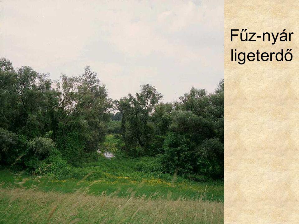 Fűz-nyár ligeterdő Tisza-parti puhafaliget I. (Csanytelek, 1996.) ELOH204