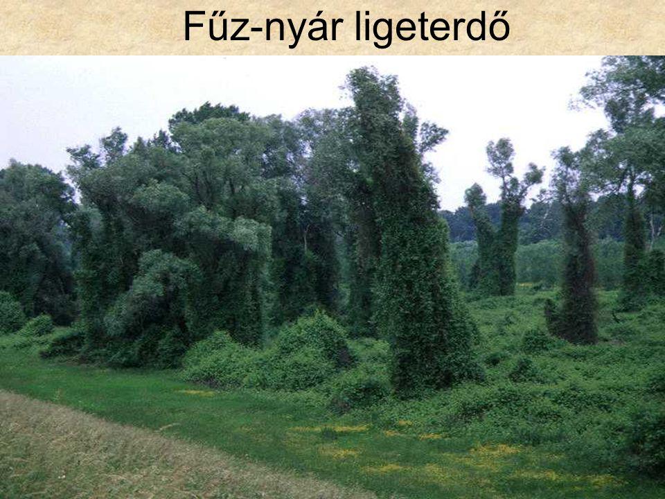 Fűz-nyár ligeterdő Tisza-parti puhafaliget II. (Csanytelek, 1996.) ELOH0443