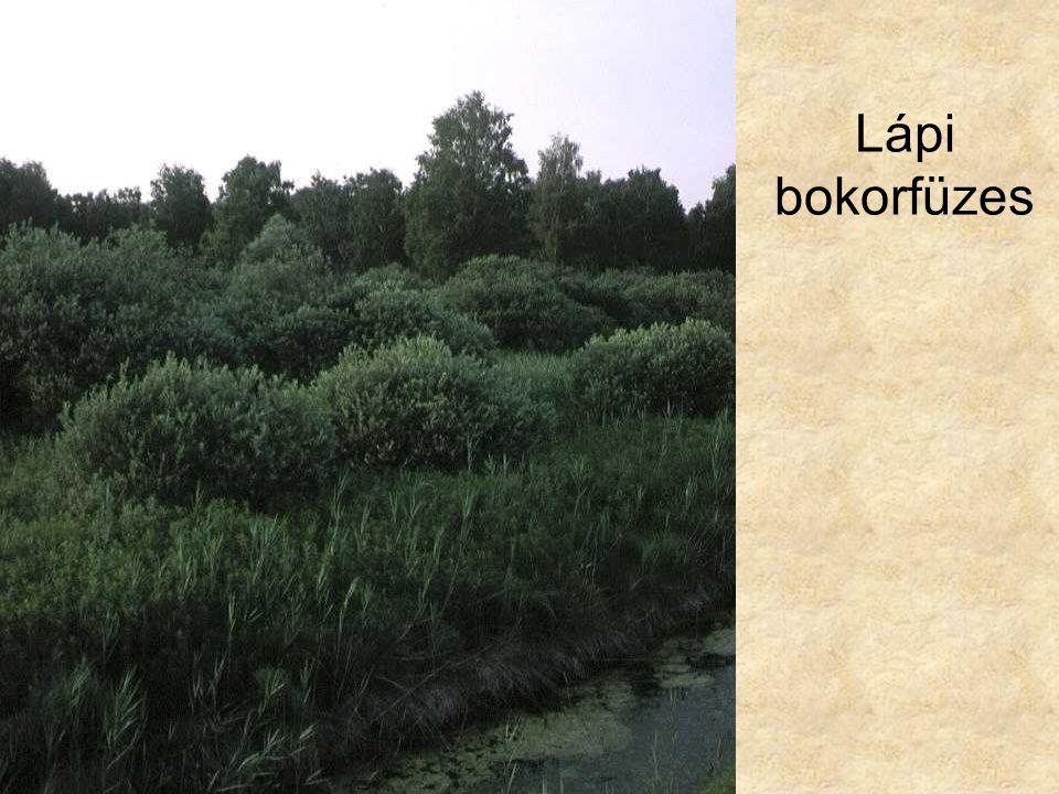 Lápi bokorfüzes Lápi füzes (Hanság, 1996.) ELOH0697