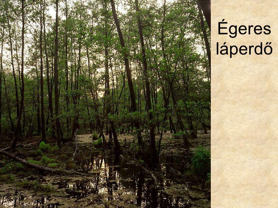 Égeres láperdő Égeres láperdő a Hanságban I. (Mosonszentjános, 1996.) ELOH202