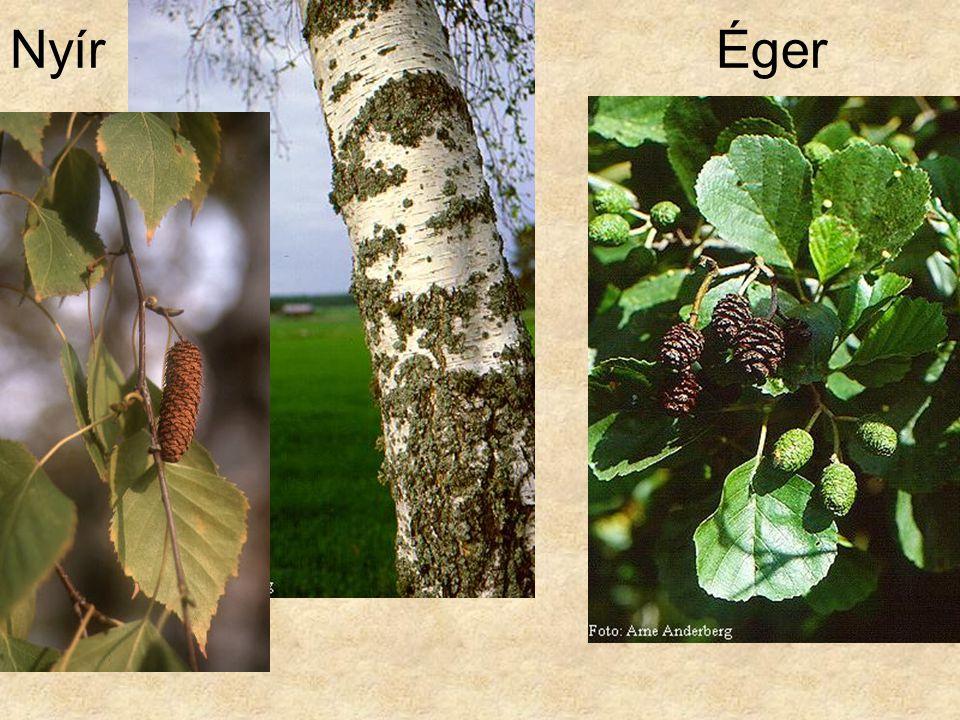 Nyír Éger Bal oldal: Kozonseges nyir FakCD197