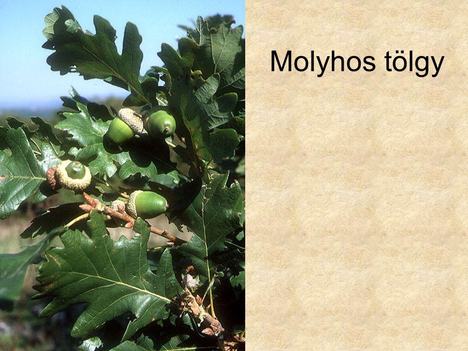 Molyhos tölgy Molyhos tölgy (Quercus pubescens)607