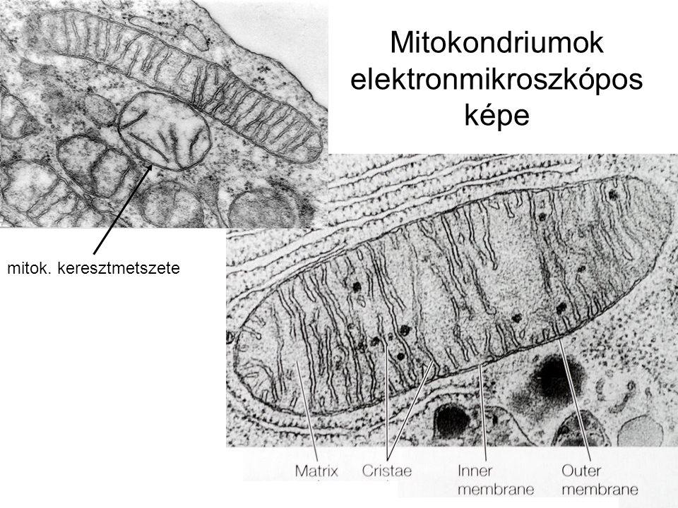 Mitokondriumok elektronmikroszkópos képe