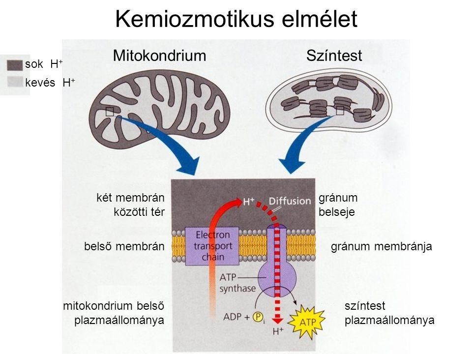 Kemiozmotikus elmélet