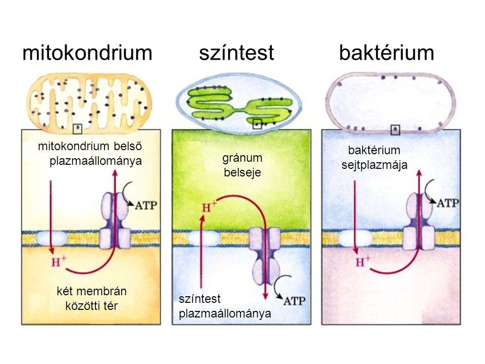 mitokondrium színtest baktérium