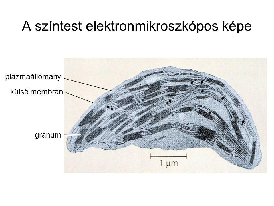 A színtest elektronmikroszkópos képe