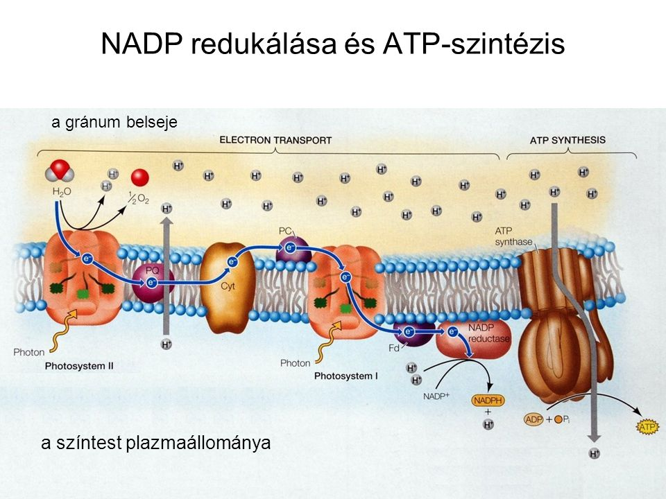 NADP redukálása és ATP-szintézis