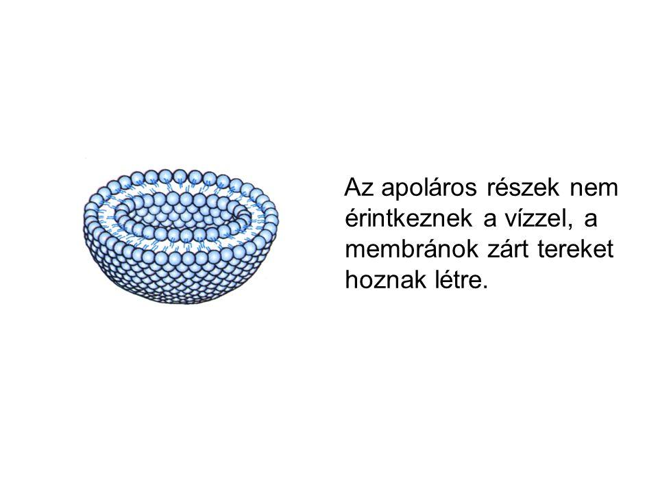 Az apoláros részek nem érintkeznek a vízzel, a membránok zárt tereket hoznak létre.