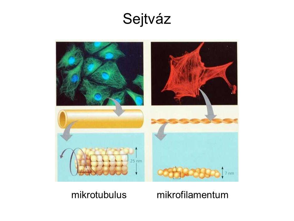 Sejtváz mikrotubulus mikrofilamentum
