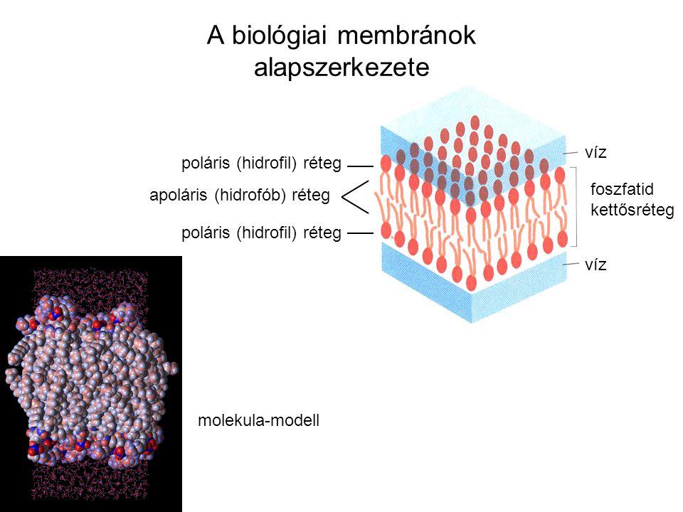 A biológiai membránok alapszerkezete