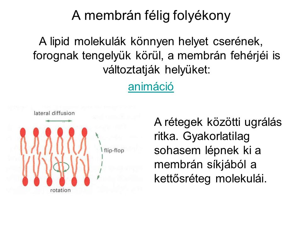 A membrán félig folyékony