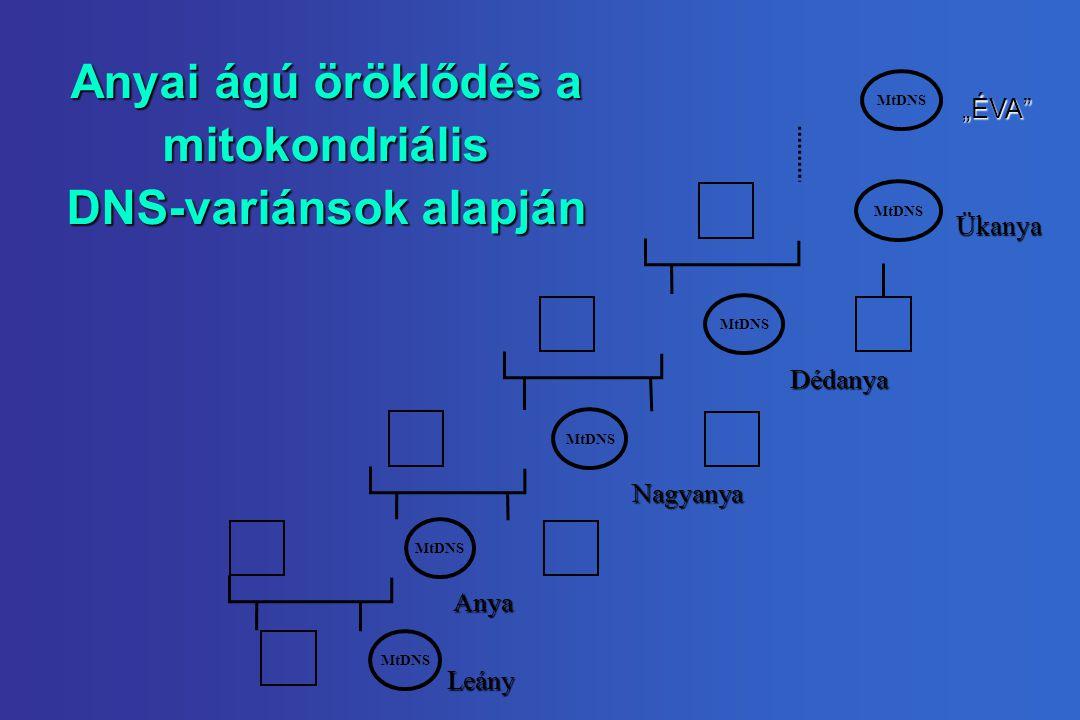 Anyai ágú öröklődés a mitokondriális DNS-variánsok alapján