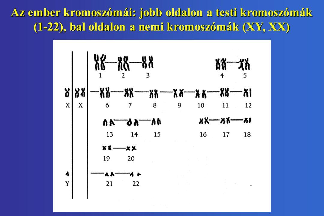 Az ember kromoszómái: jobb oldalon a testi kromoszómák (1-22), bal oldalon a nemi kromoszómák (XY, XX)