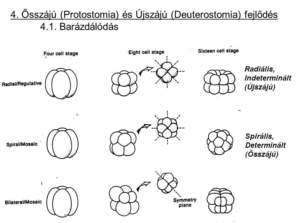 4. Ősszájú (Protostomia) és Újszájú (Deuterostomia) fejlődés