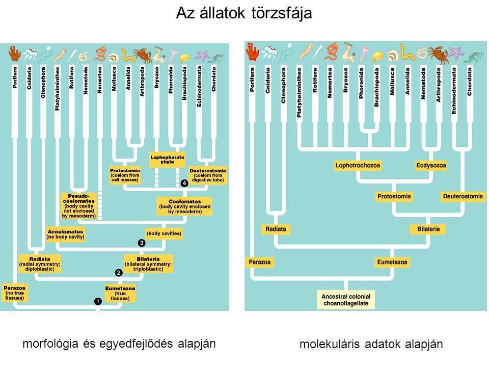 Az állatok törzsfája morfológia és egyedfejlődés alapján