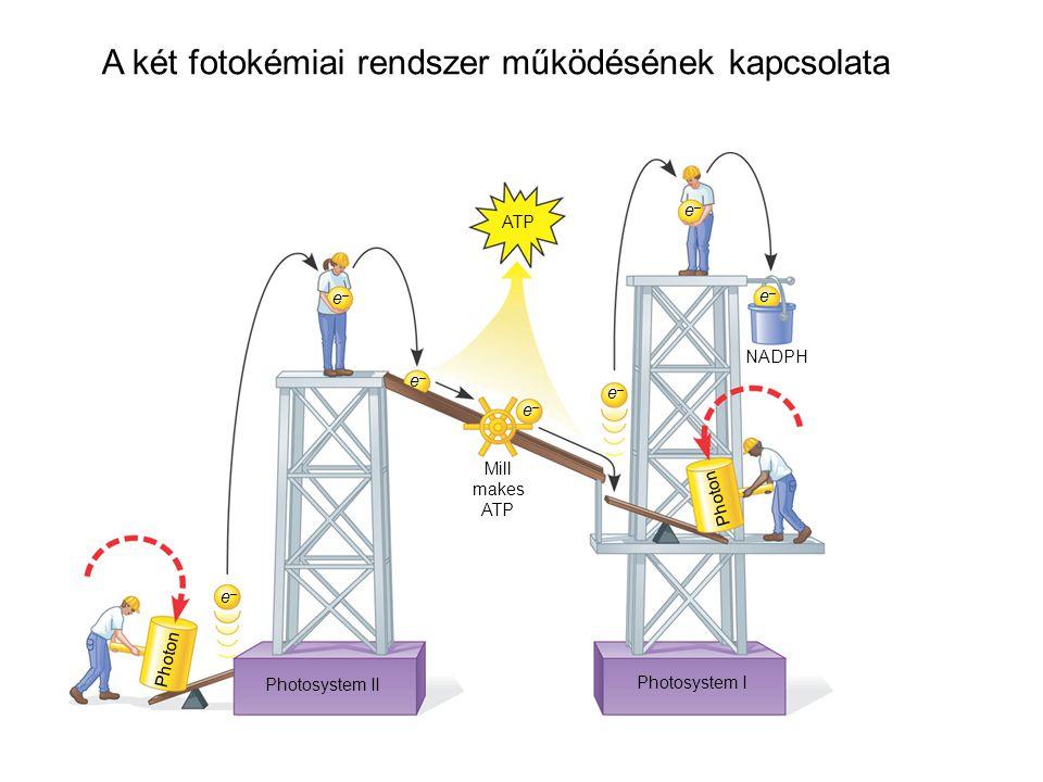 A két fotokémiai rendszer működésének kapcsolata
