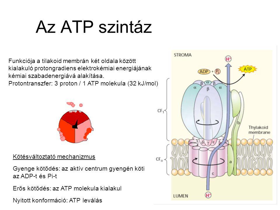 Az ATP szintáz Funkciója a tilakoid membrán két oldala között kialakuló protongradiens elektrokémiai energiájának kémiai szabadenergiává alakítása.