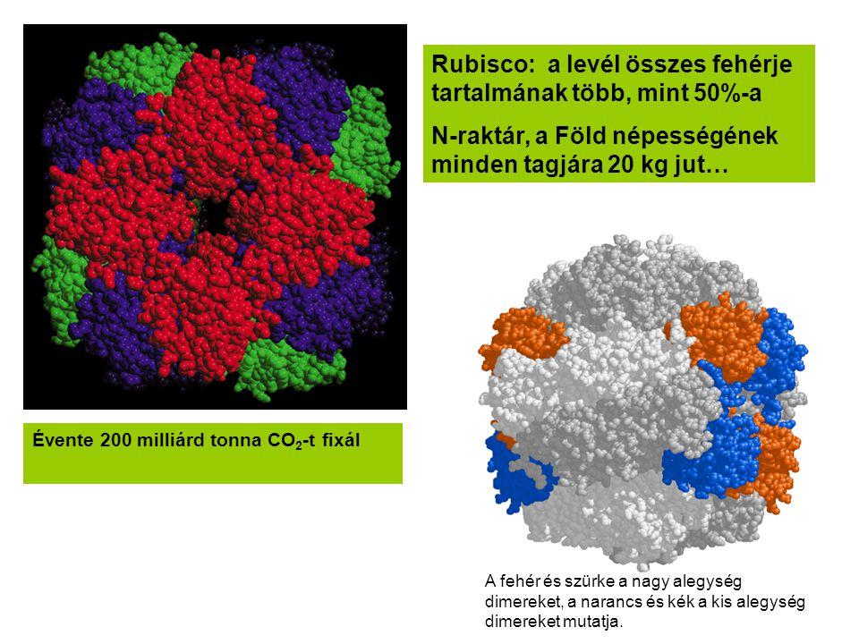 Rubisco: a levél összes fehérje tartalmának több, mint 50%-a
