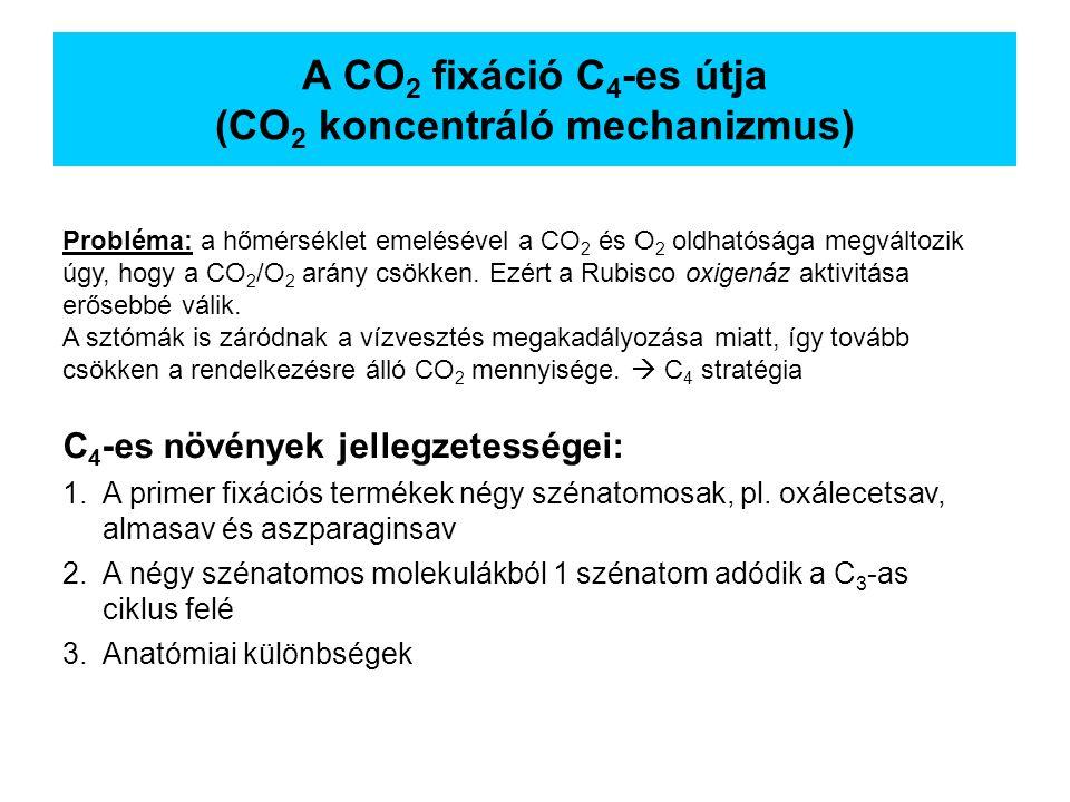 A CO2 fixáció C4-es útja (CO2 koncentráló mechanizmus)