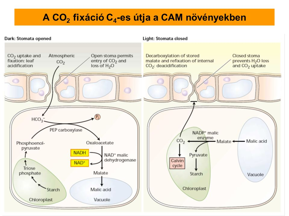 A CO2 fixáció C4-es útja a CAM növényekben