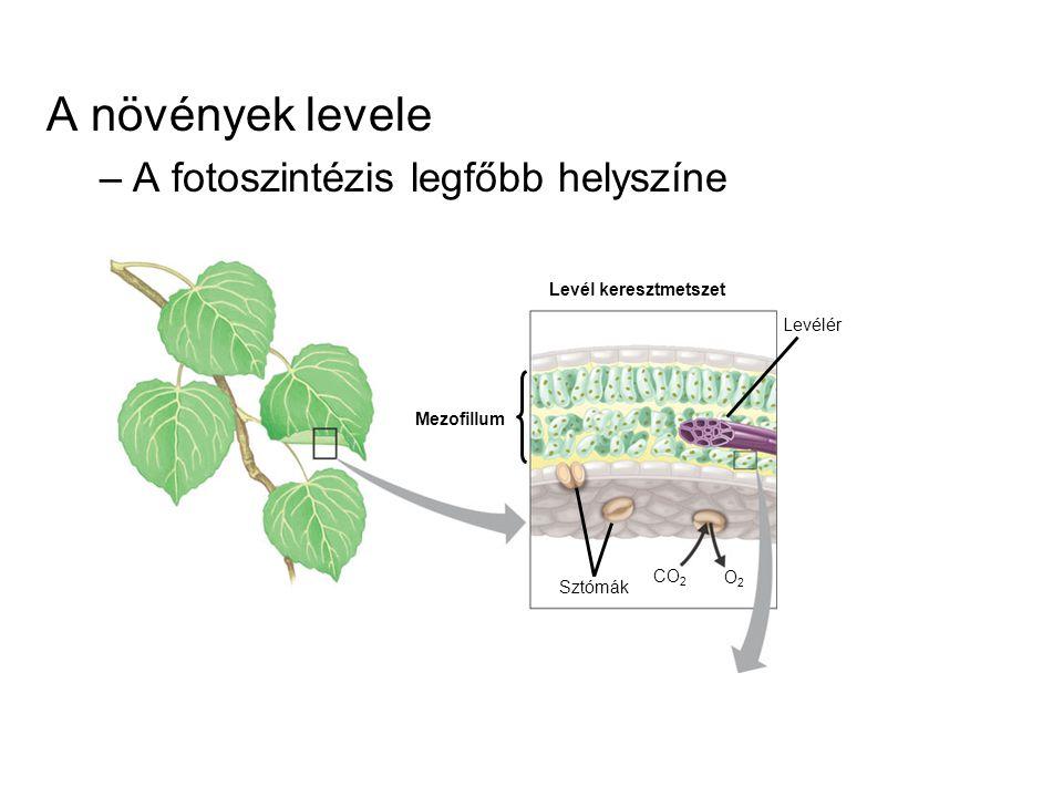 A növények levele A fotoszintézis legfőbb helyszíne