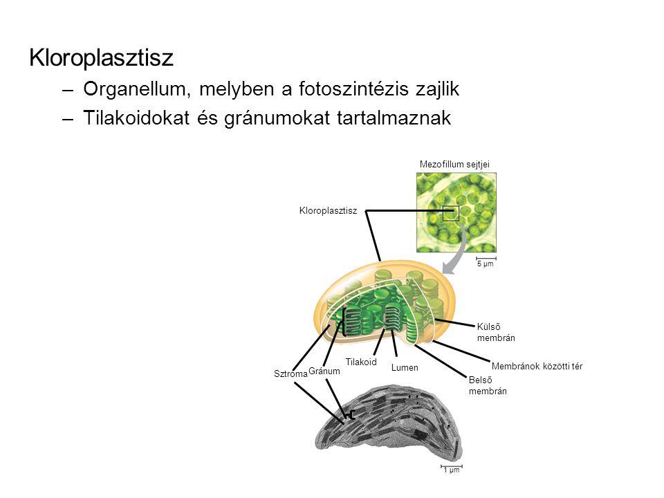 Kloroplasztisz Organellum, melyben a fotoszintézis zajlik