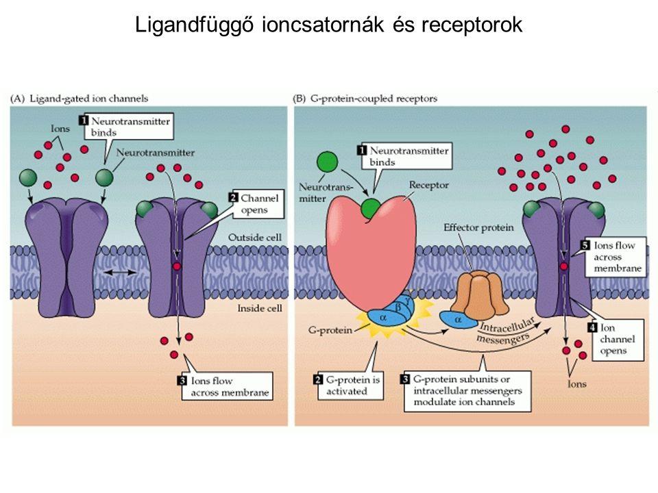 Ligandfüggő ioncsatornák és receptorok