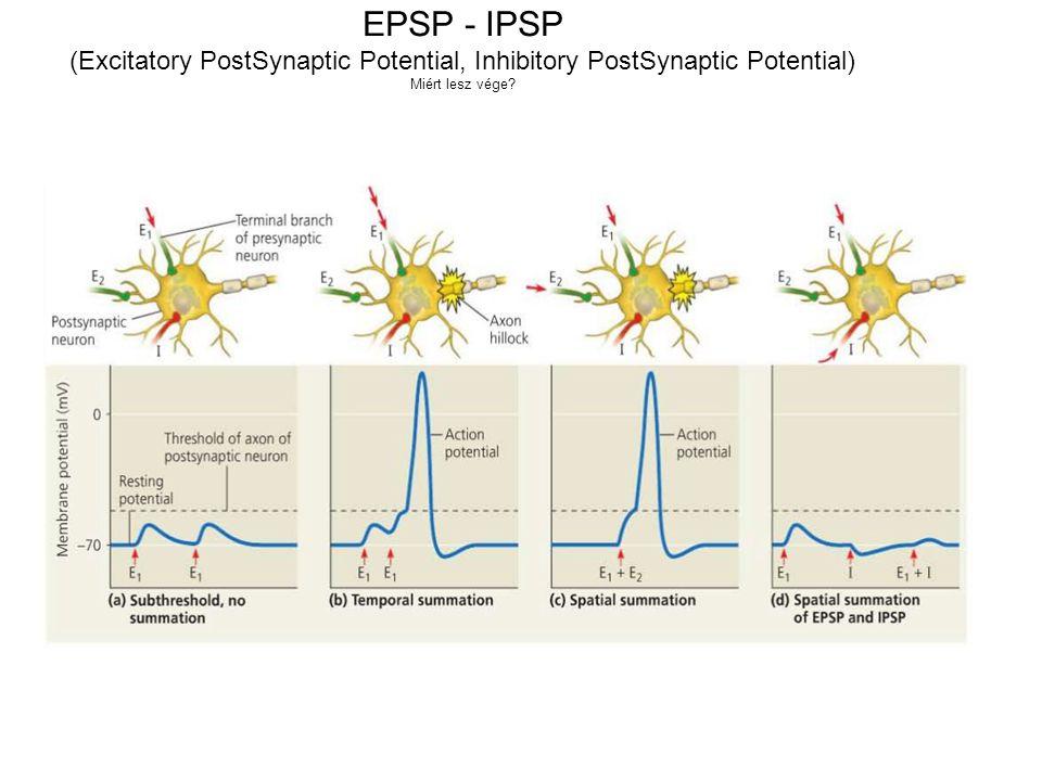(Excitatory PostSynaptic Potential, Inhibitory PostSynaptic Potential)