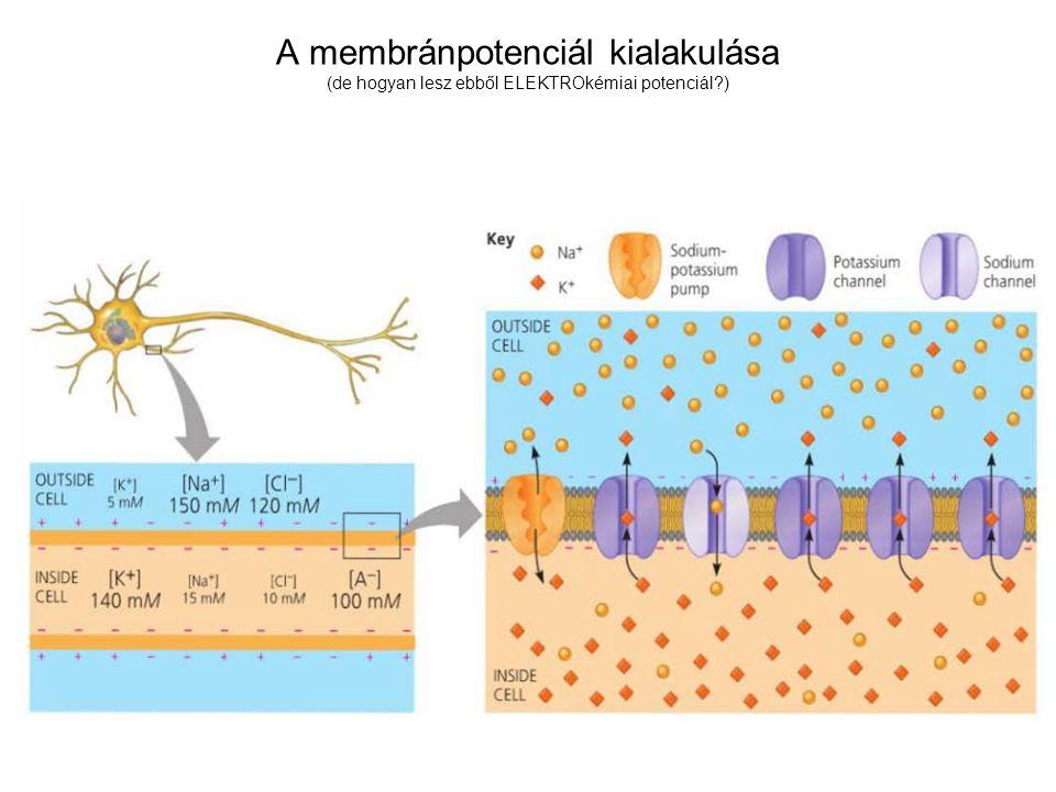 A membránpotenciál kialakulása (de hogyan lesz ebből ELEKTROkémiai potenciál )