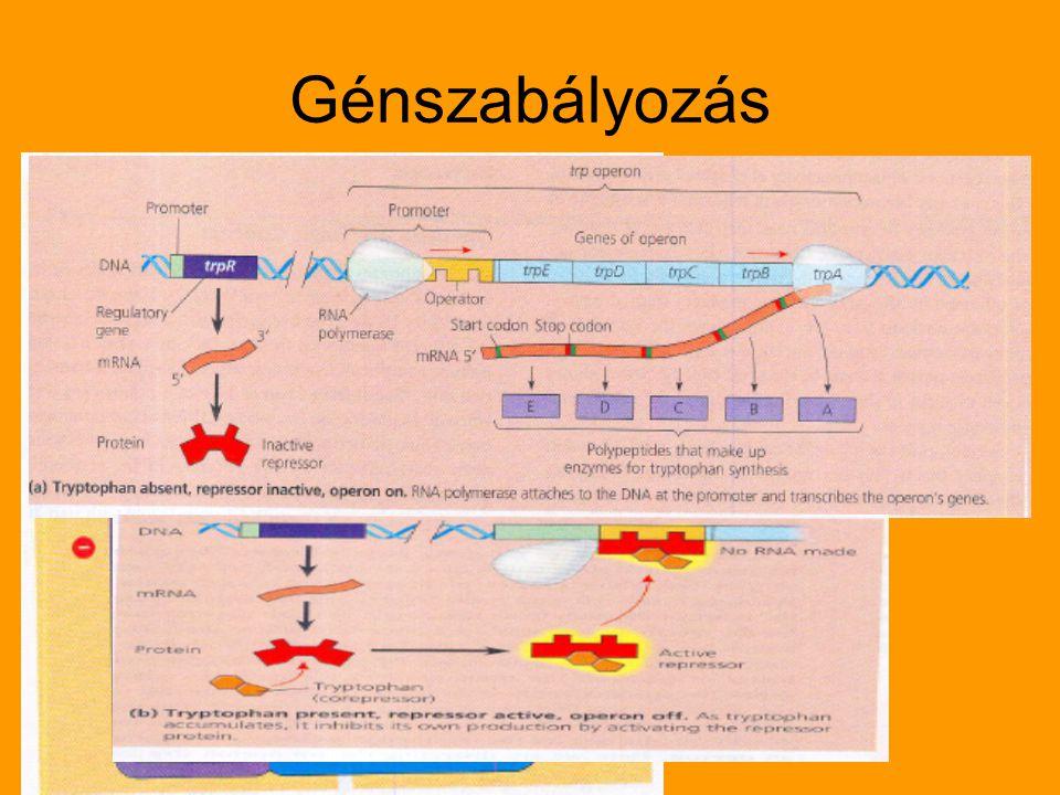 Génszabályozás
