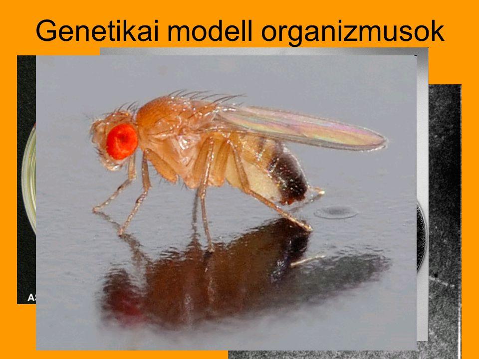 Genetikai modell organizmusok