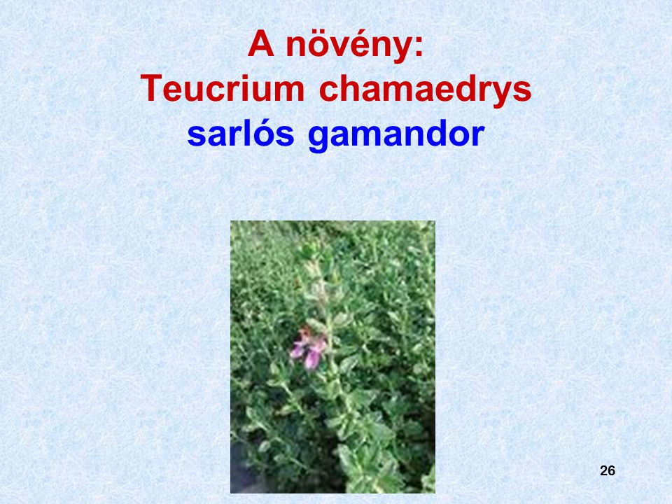 A növény: Teucrium chamaedrys sarlós gamandor