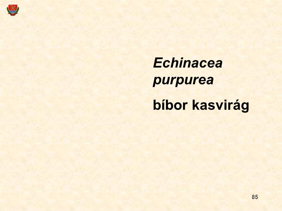 Echinacea purpurea bíbor kasvirág