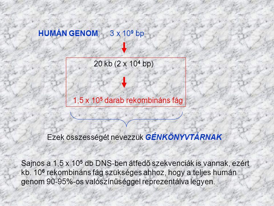 HUMÁN GENOM: 3 x 109 bp 20 kb (2 x 104 bp) 1,5 x 105 darab rekombináns fág. Ezek összességét nevezzük GÉNKÖNYVTÁRNAK.