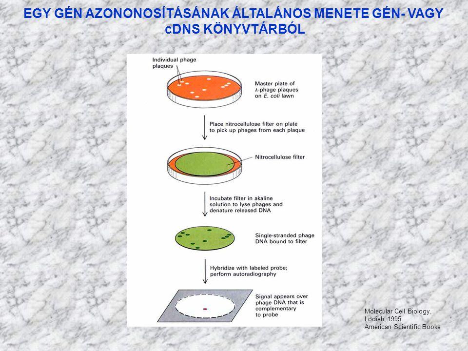 EGY GÉN AZONONOSÍTÁSÁNAK ÁLTALÁNOS MENETE GÉN- VAGY