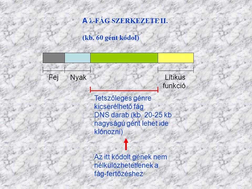 A λ-FÁG SZERKEZETE II. (kb. 60 gént kódol) Fej Nyak Lítikus.