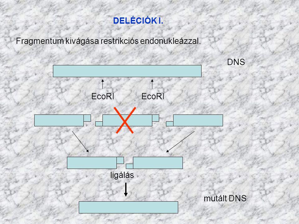 DELÉCIÓK I. Fragmentum kivágása restrikciós endonukleázzal. DNS. EcoRI EcoRI. ligálás.