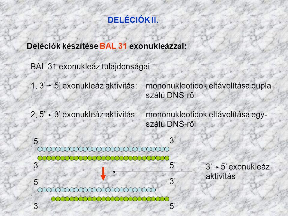DELÉCIÓK II. Deléciók készítése BAL 31 exonukleázzal: BAL 31 exonukleáz tulajdonságai: