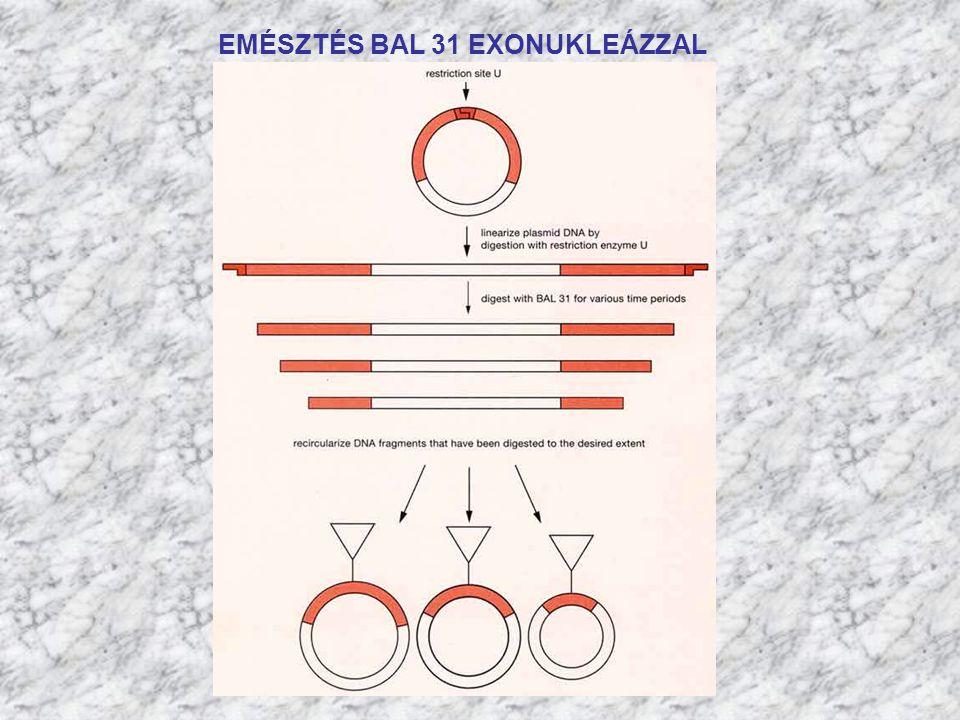 EMÉSZTÉS BAL 31 EXONUKLEÁZZAL