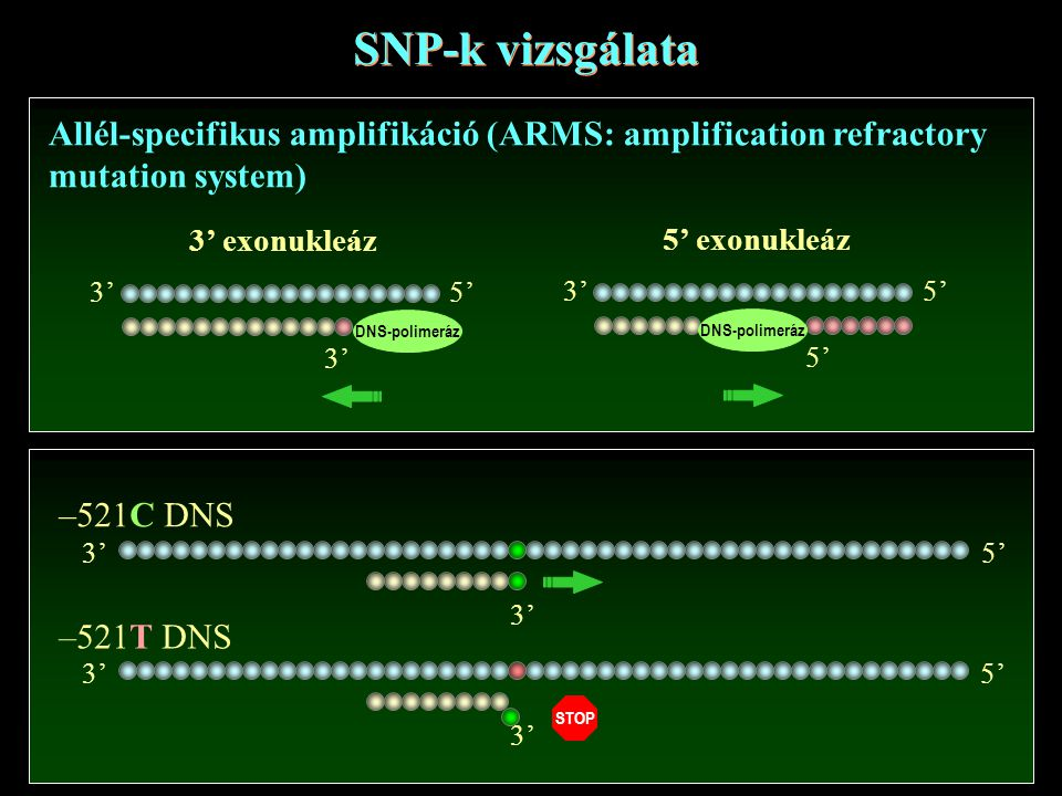 SNP-k vizsgálata Allél-specifikus amplifikáció (ARMS: amplification refractory. mutation system) 3'